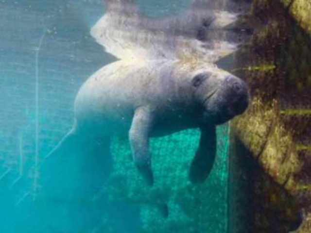Lost Manatee Happily Released Back Into the Wild
