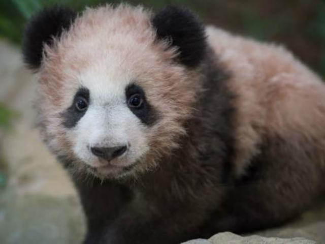 France's First Panda Cub Makes Public Debut
