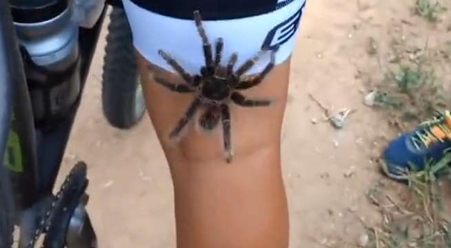 tarantula brazil
