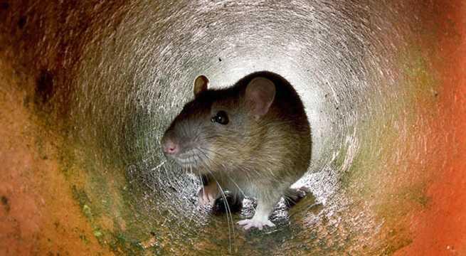 rat getty
