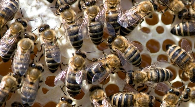 bees-swarm-sting-getty-imagesSven-Hoppedpa-getty