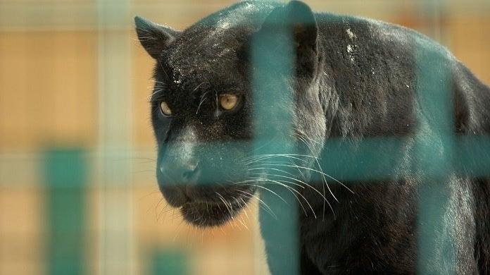 jaguar getty images