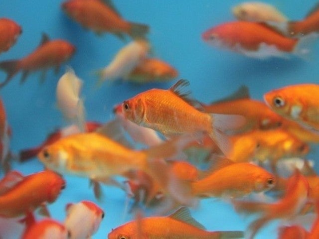 Bride's Idea Goes Horribly Wrong, Maid of Honor Forced to Cleanup 99 Dead Goldfish