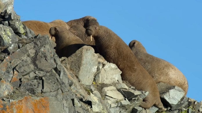 our-planet-walrus-netflix