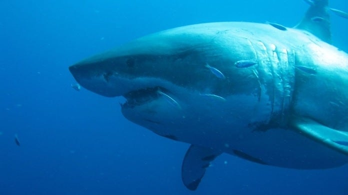 giant shark getty images