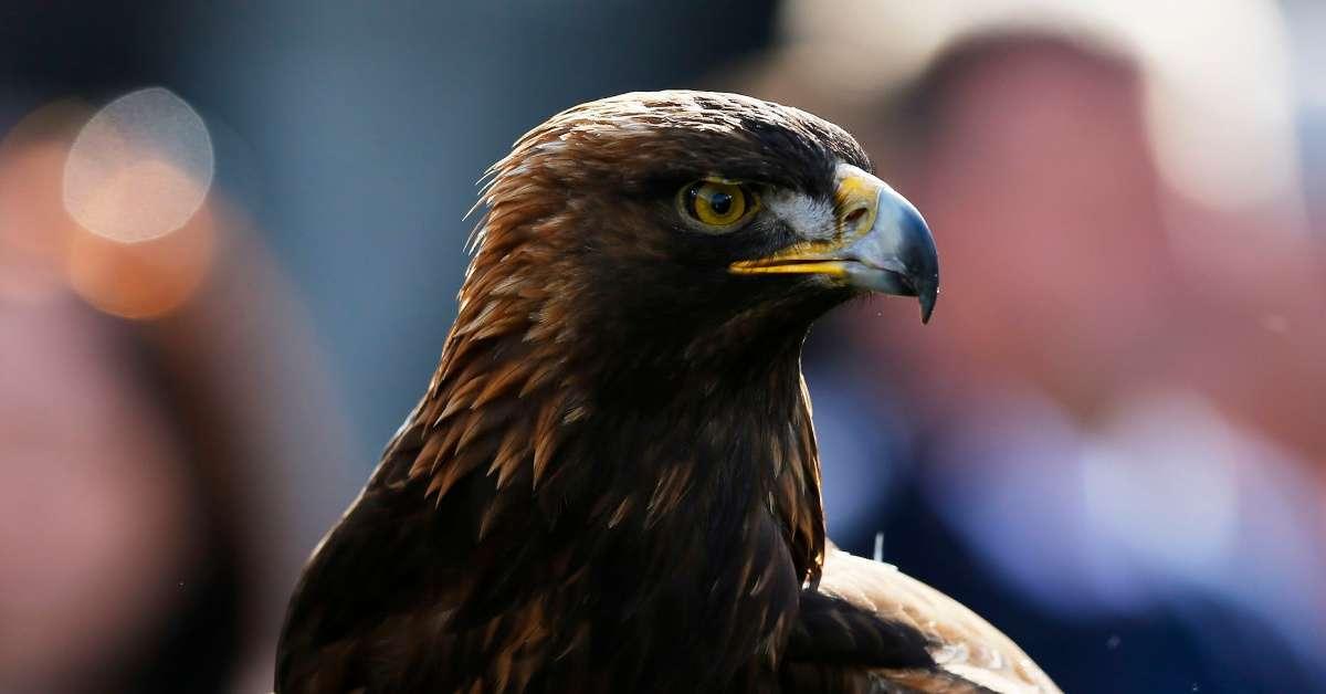 Auburn's War Eagle Mascot May Be Facing Heart Failure