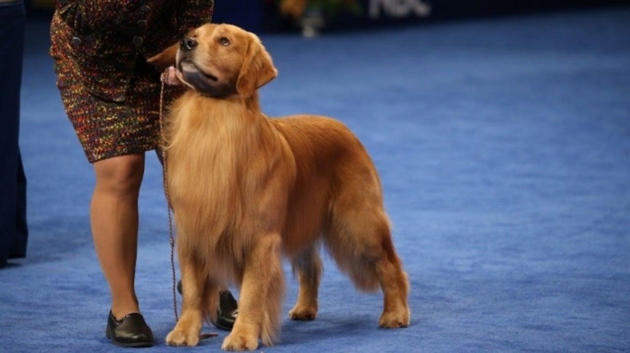 National Dog Show Golden Retriever Jack Daniels Wins Sporting