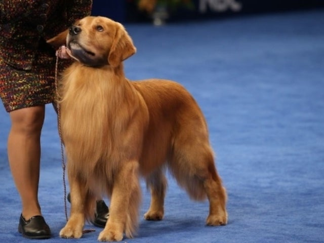 National Dog Show: Golden Retriever Jack Daniels Wins Sporting Group Honor, and Fans Love It