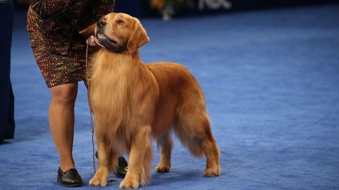 golden retriever dog show getty images nbc