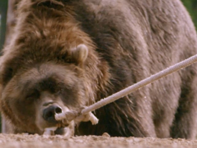 'Man vs. Bear': Watch World Record Athlete Take on Bart the Grizzly in Intense Exclusive Sneak Peek