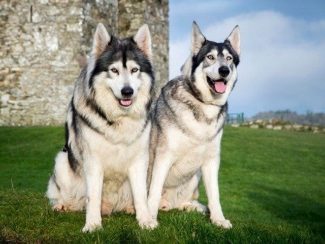 'Game of Thrones' Direwolf Odin Dies After 4-Month Battle With Cancer