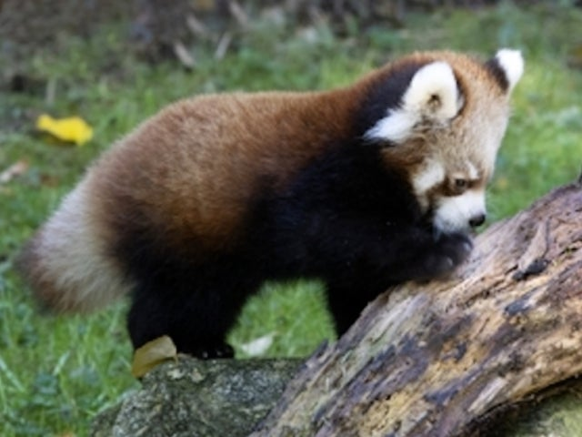 Red Panda Babies Delight in Exclusive 'The Zoo' Season Premiere Preview