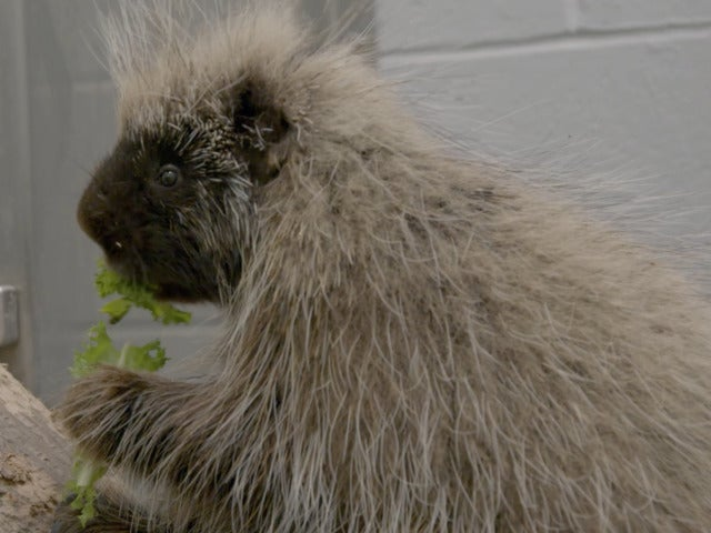 'The Zoo' Exclusive Preview: Porcupine Feeding Time
