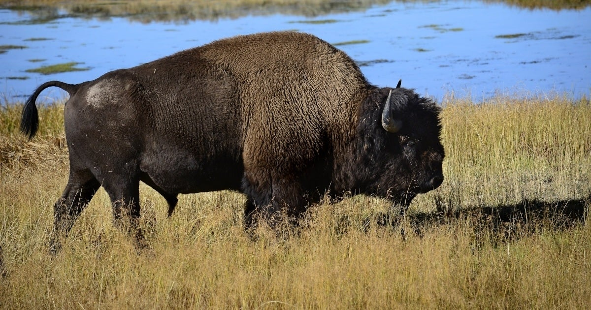 bison getty images