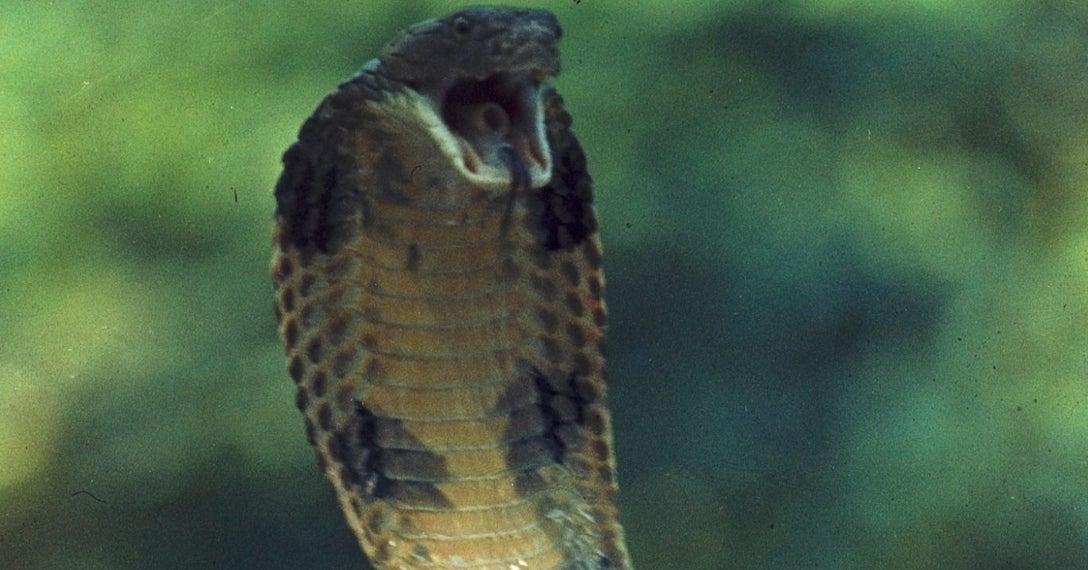 cobra-snake-getty