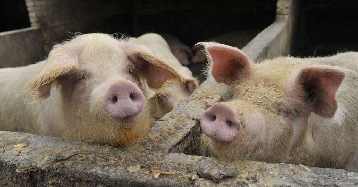 Swine-Flu-Getty