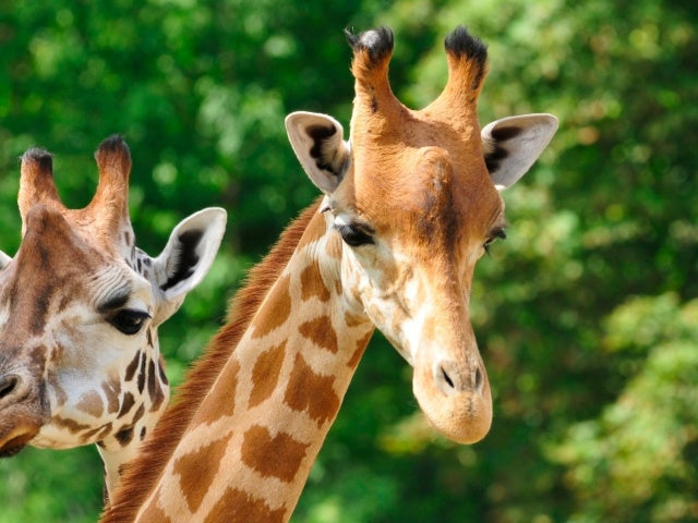April the Giraffe's Calf, Azizi, Dies Suddenly at East Texas Zoo