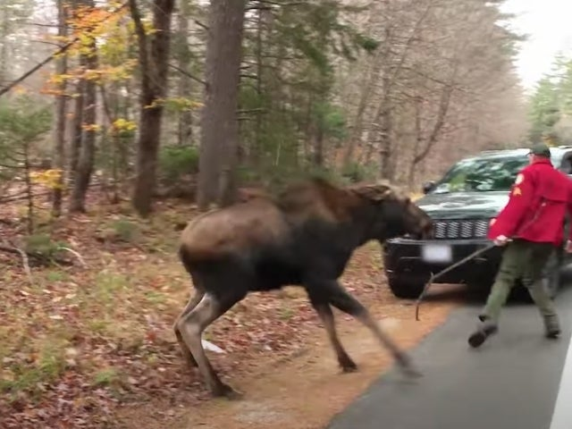 'North Woods Law' Sgt. Lopashanski Wrangles a Stubborn Moose From the Roadway in Exclusive Sneak Peek