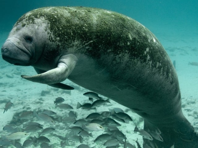 'Trump' Etched Onto Manatee's Back, Reward Offered for Culprit