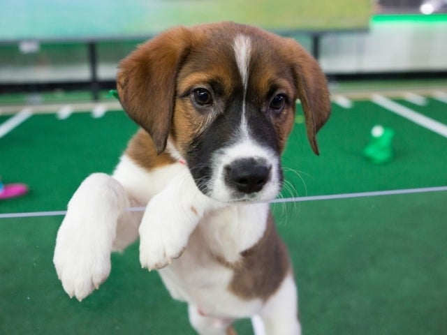 Puppy Bowl 2021: What Is It and When It First Begin