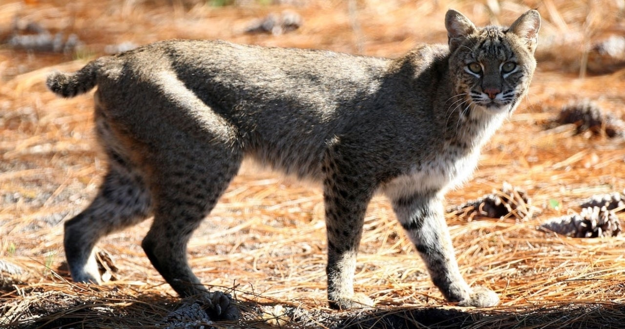 Viral Video Shows Man Throw a Bobcat Across His Yard After It Attacks His Wife.jpg