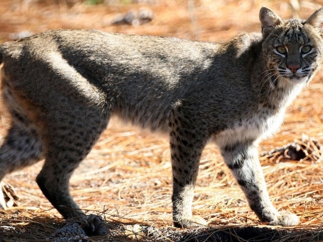 Viral Video Shows Man Throw a Bobcat Across His Yard After It Attacks His Wife