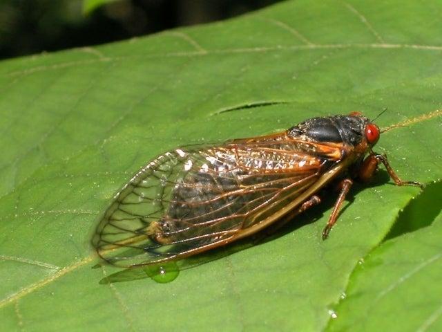 Cicada Cam Comes to Discovery to Kick off 'Cicada Week'