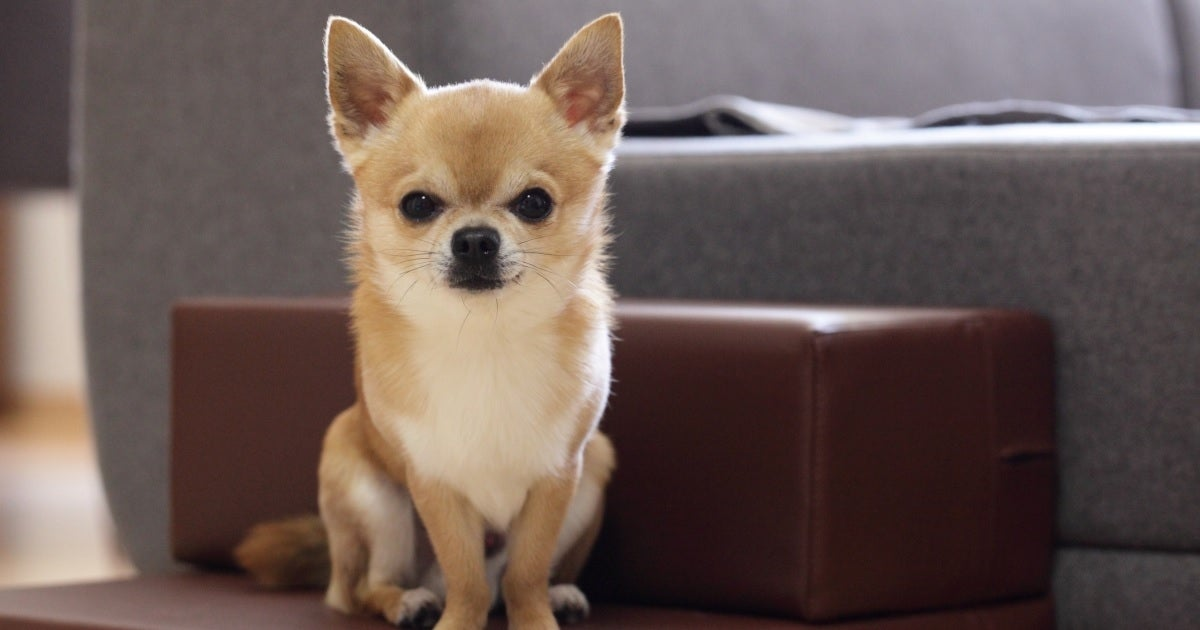 chihuahua getty images