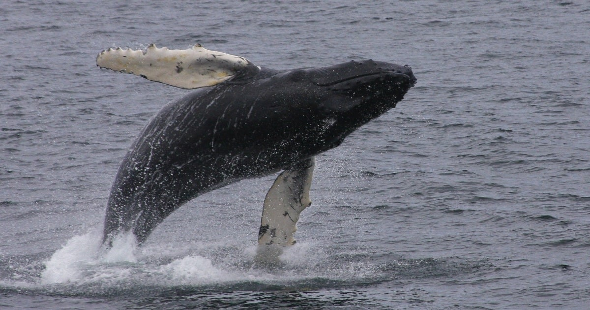 humpback whale getty images