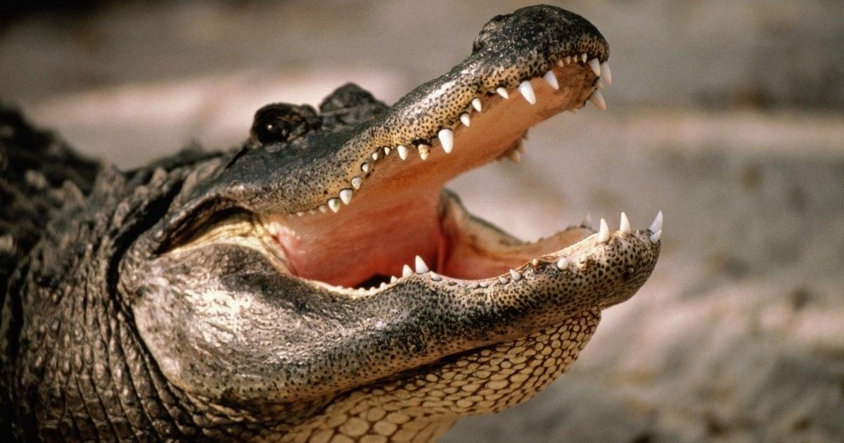 alligator getty images
