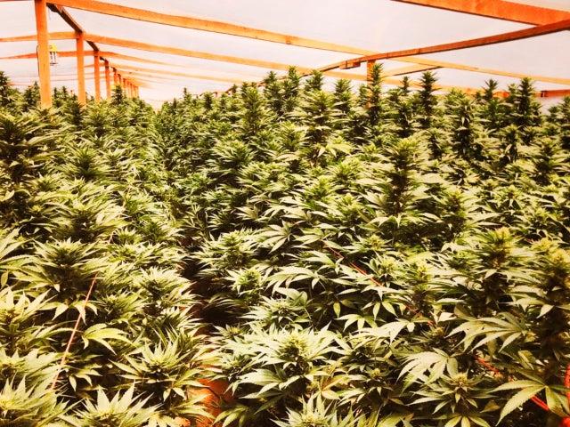 $1.19 Billion Marijuana Crop Seized in Massive Cartel-Connected Bust