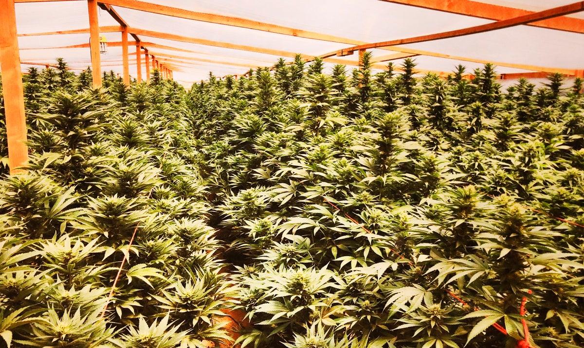 california-marijuana-bust