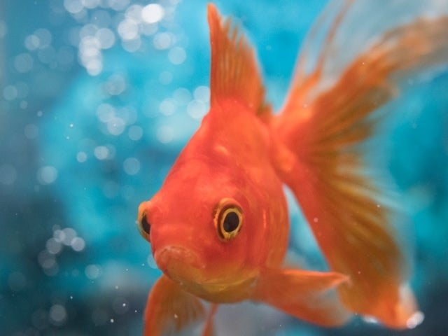 Pet Goldfish Grows to Enormous Size After Being Discarded in Lake — See the Photos