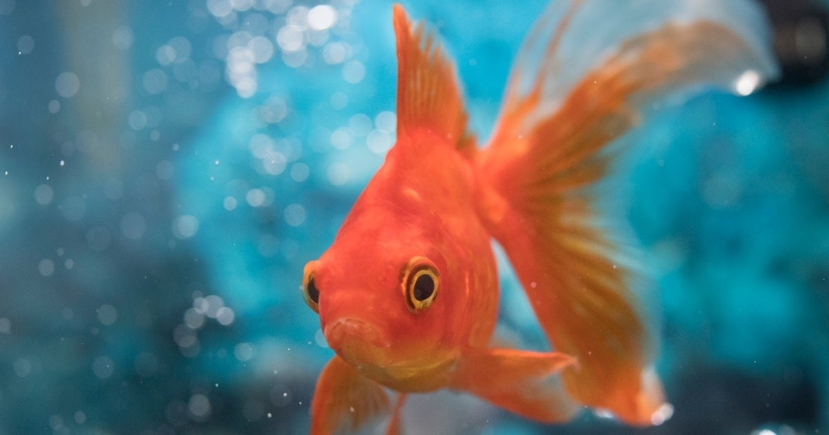 goldfish getty images