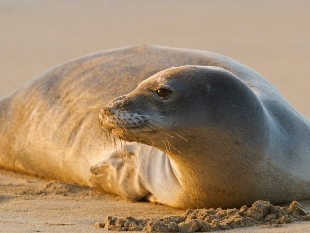Louisiana Couple Hit With Fine After Touching Endangered Monk Seal in Hawaii
