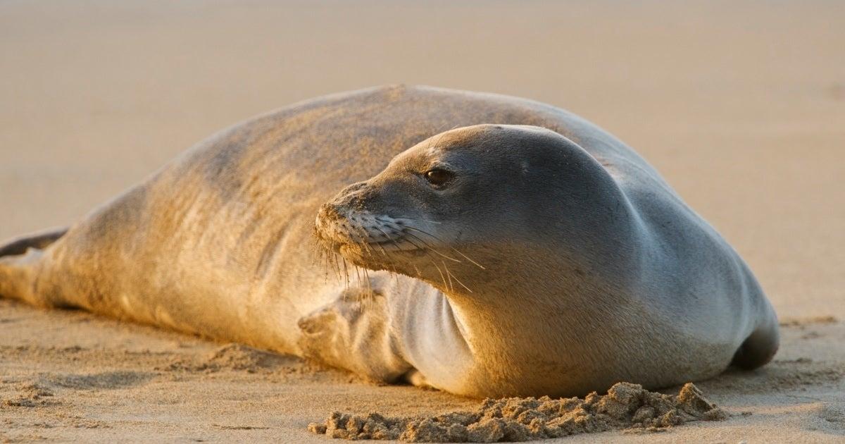 hawaiian monk seal getty images