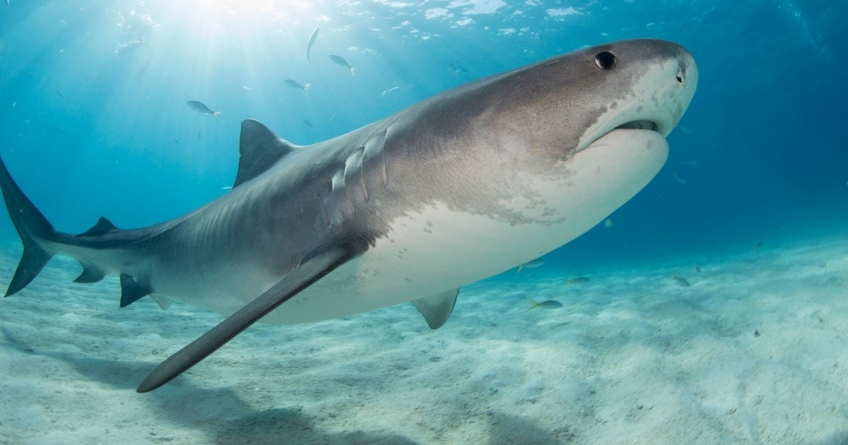 shark getty images
