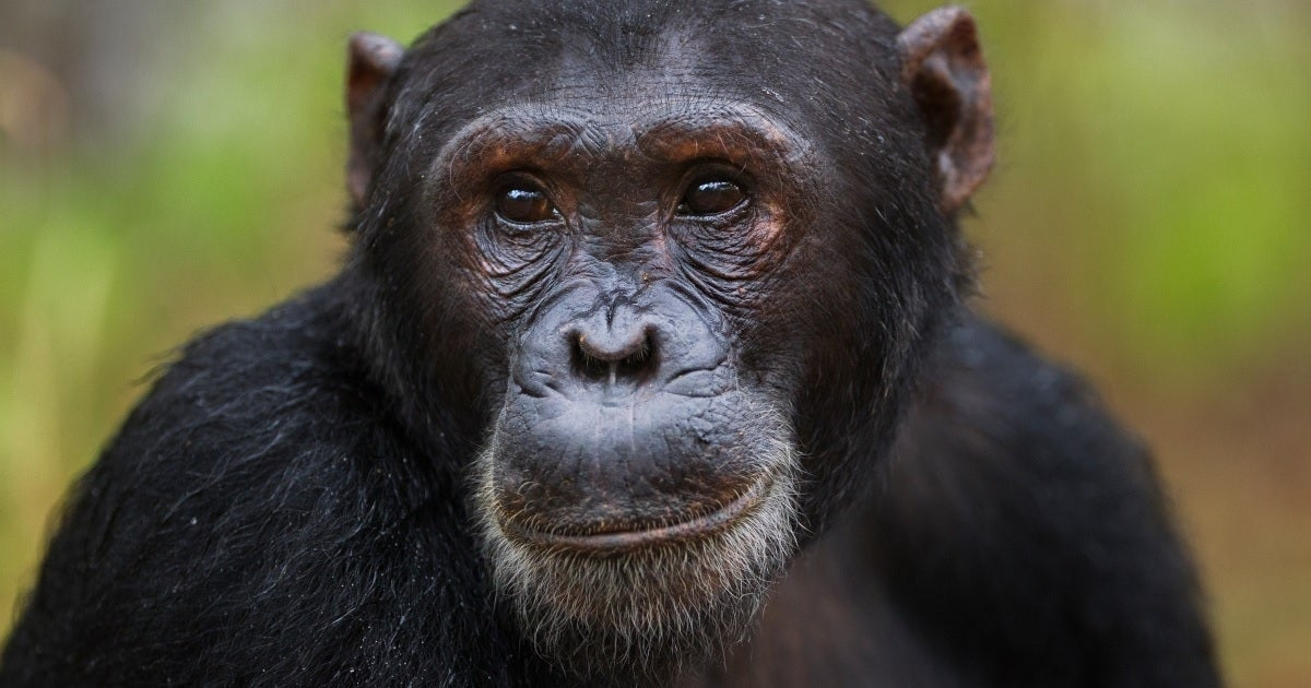 chimpanzee getty images